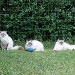 Tres gatos de la raza Neva Masquerade en el césped