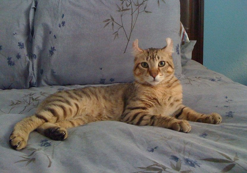 Gato Highlander en el sofá