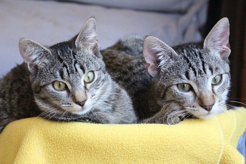 Dos gatos jóvenes