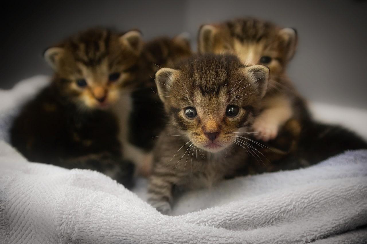 Los gatitos de un mes crecen rápido