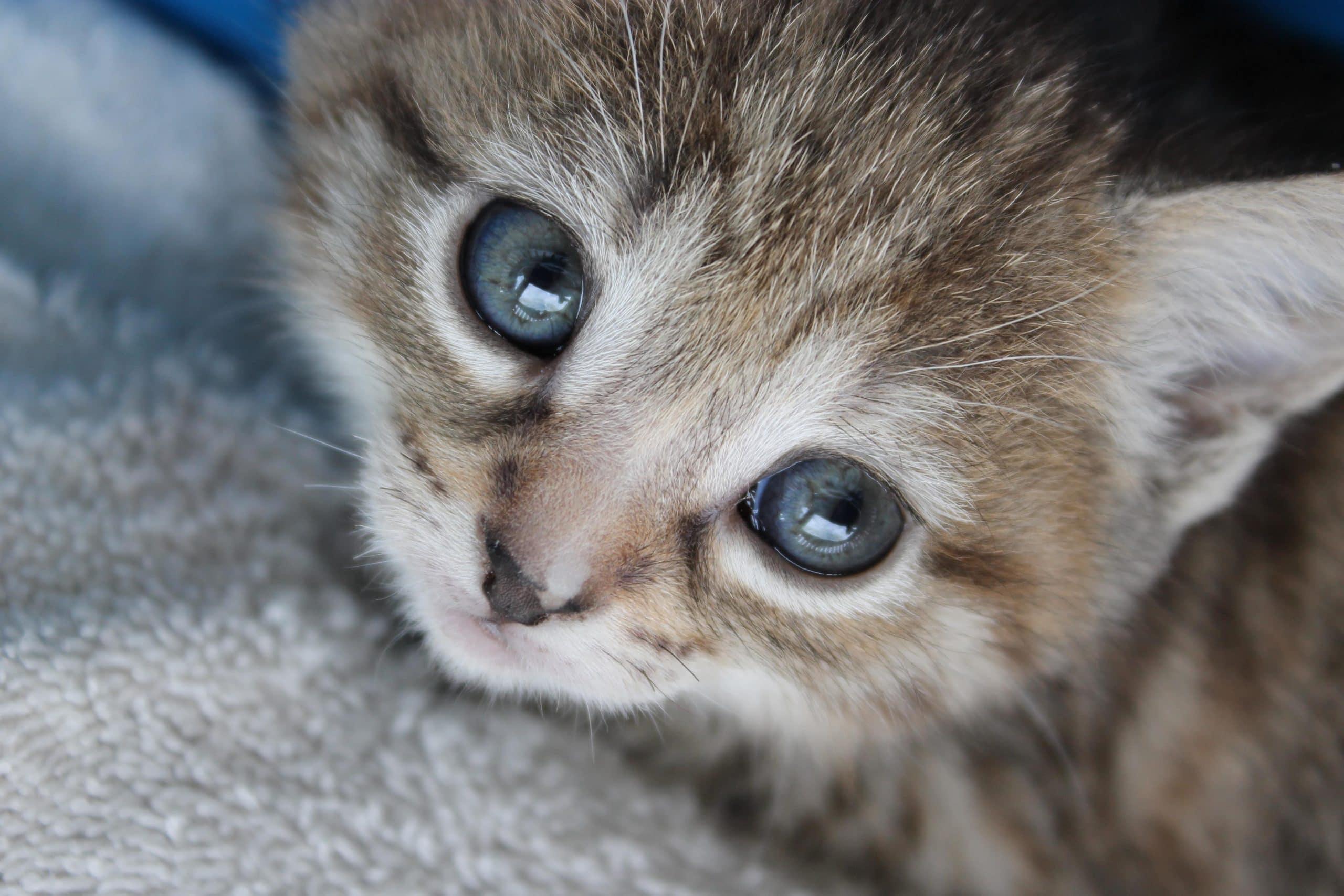 Los gatitos pueden tener diarrea
