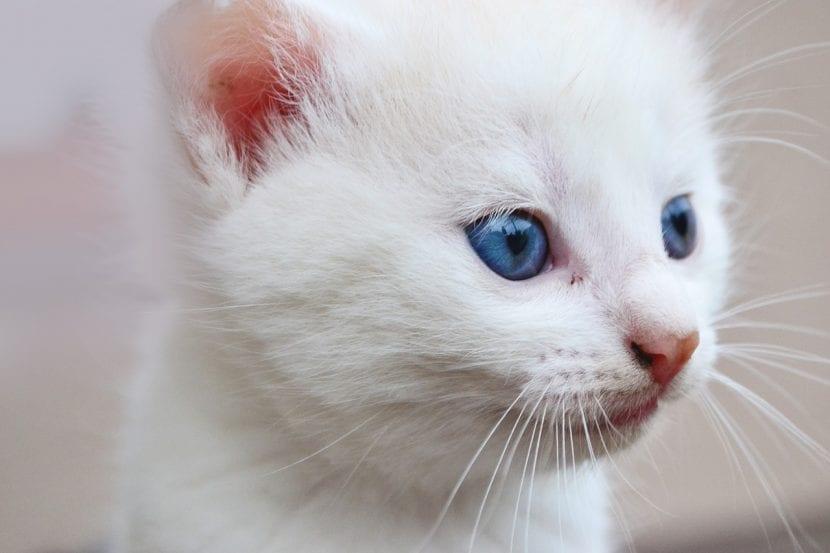 Gatito blanco de un mes