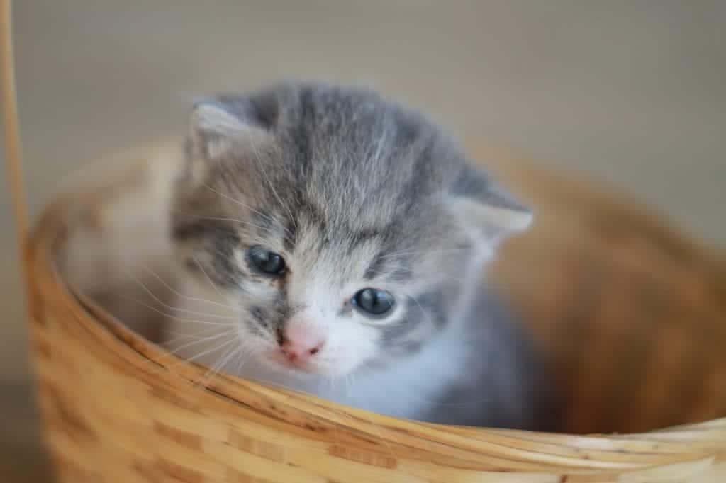 El gatito de un mes come leche y puede comer patés