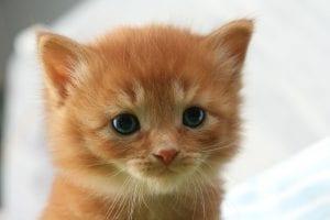 Gatito naranja de un mes