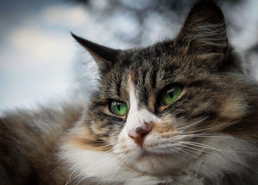 Precioso gato adulto