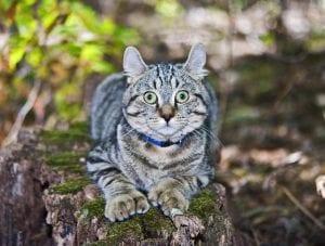 Gato adulto de la raza Highlander