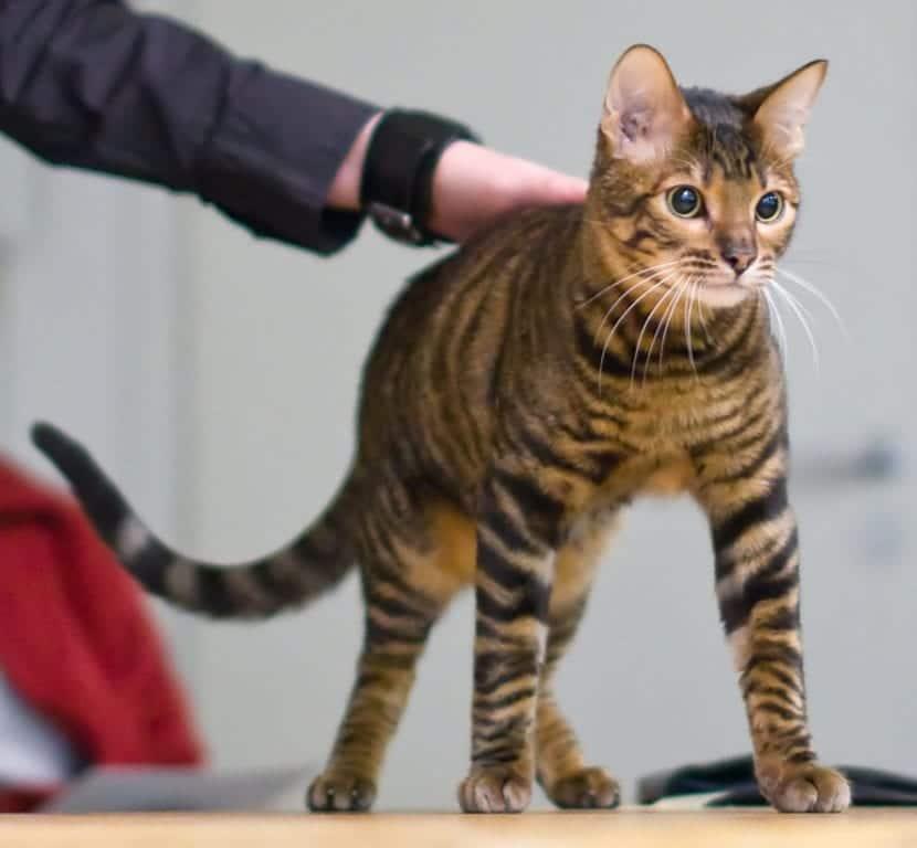 Gato adulto de la raza toyger