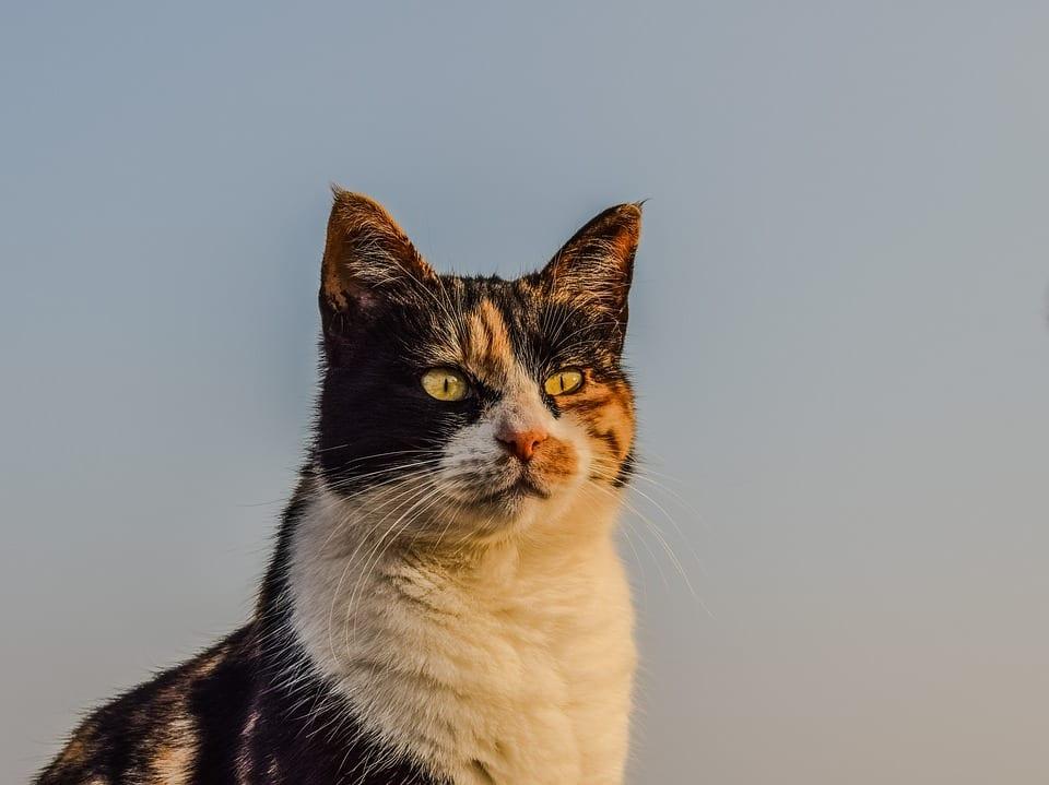 Gato adulto y callejero