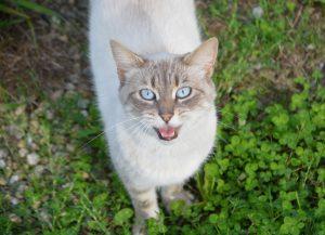 El gato es un animal que puede quedarse afónico