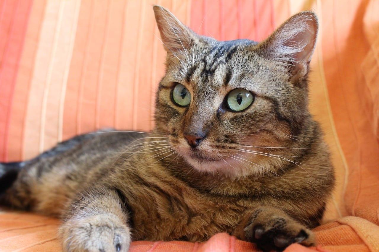 Gato atigrado en el sofá