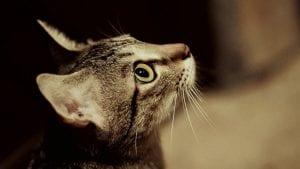 Gato aitgrado joven
