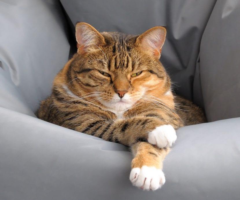 Gato atigrado naranja descansando