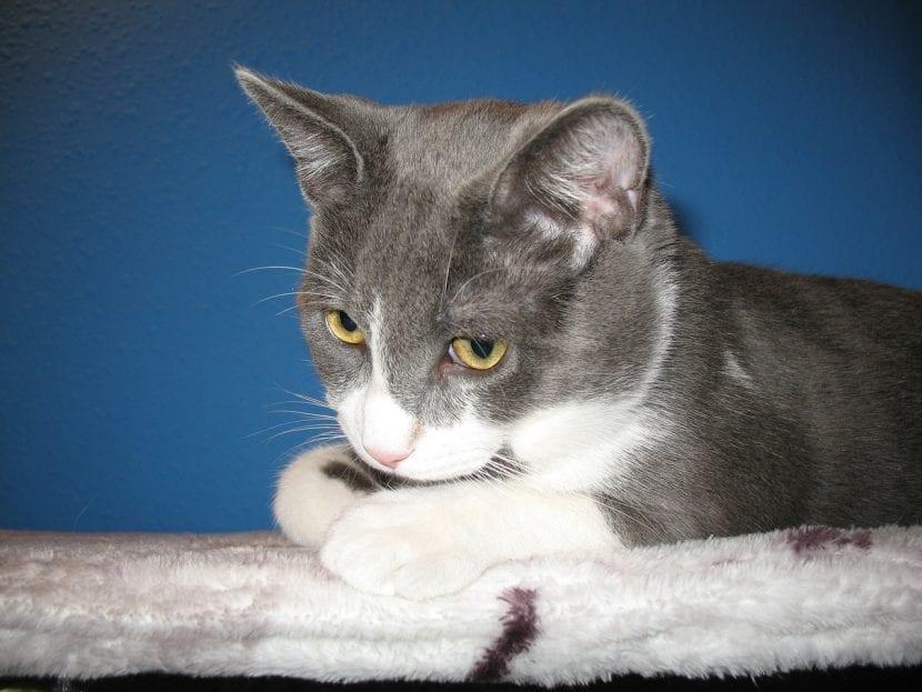 Gato bicolor tumbado en la cama