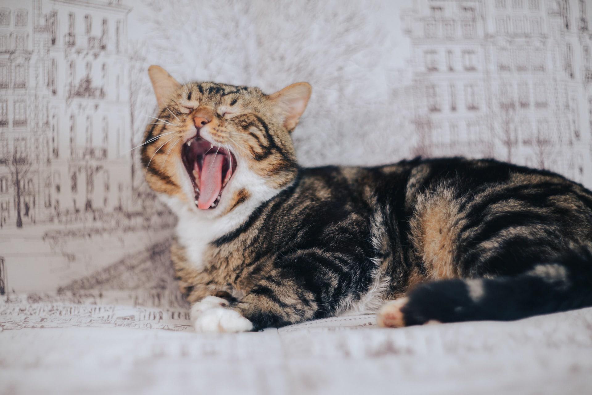 El gato puede quedarse sin voz