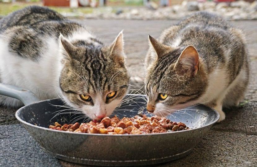 Los gatos pueden comer pienso