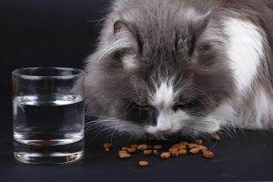 Gato acostumbrado a comer pienso