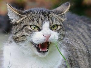 Gato adulto enfadado