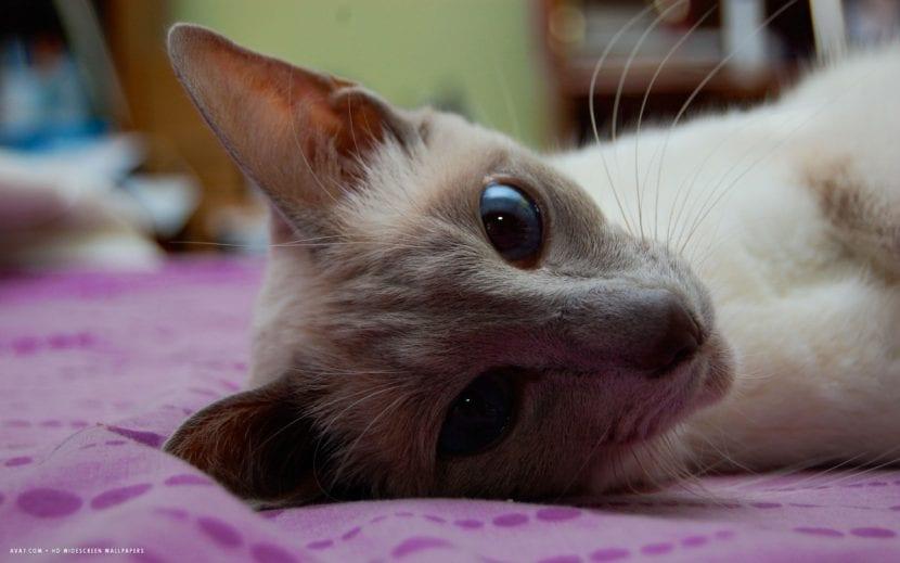 Gato javanés adulto tumbado en la cama