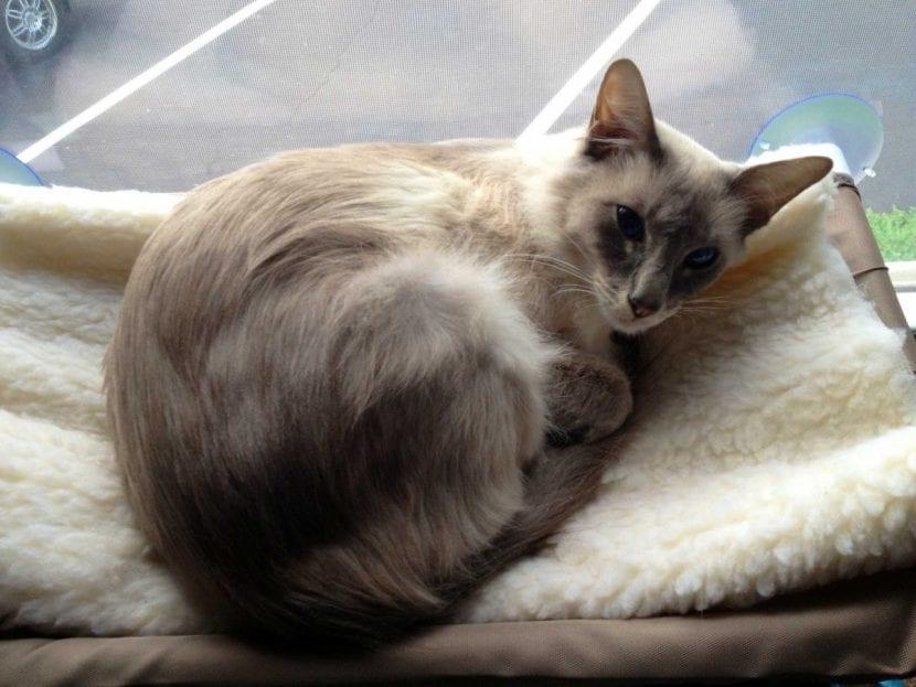 Gato javanés en la cama