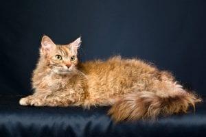 Gato adulto de la raza LaPerm