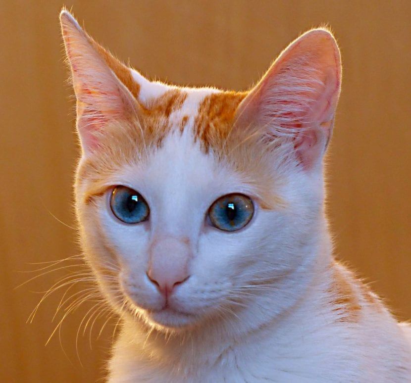 Gato Mau árabe blanco y naranja