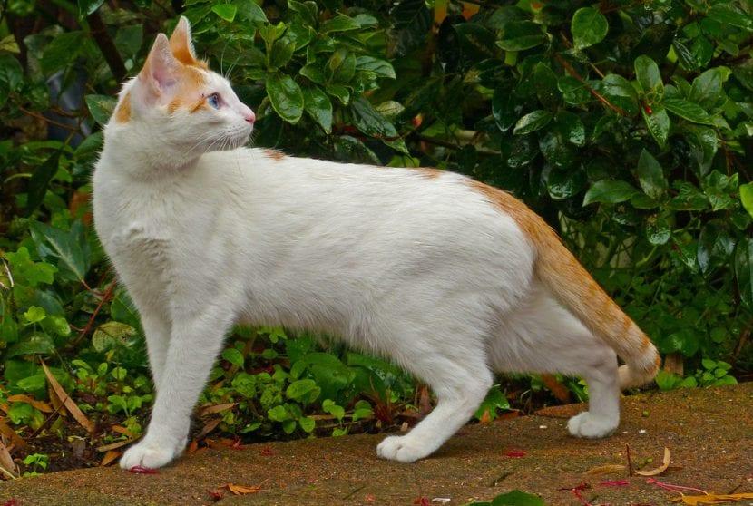 Gato Mau árabe de color blanco
