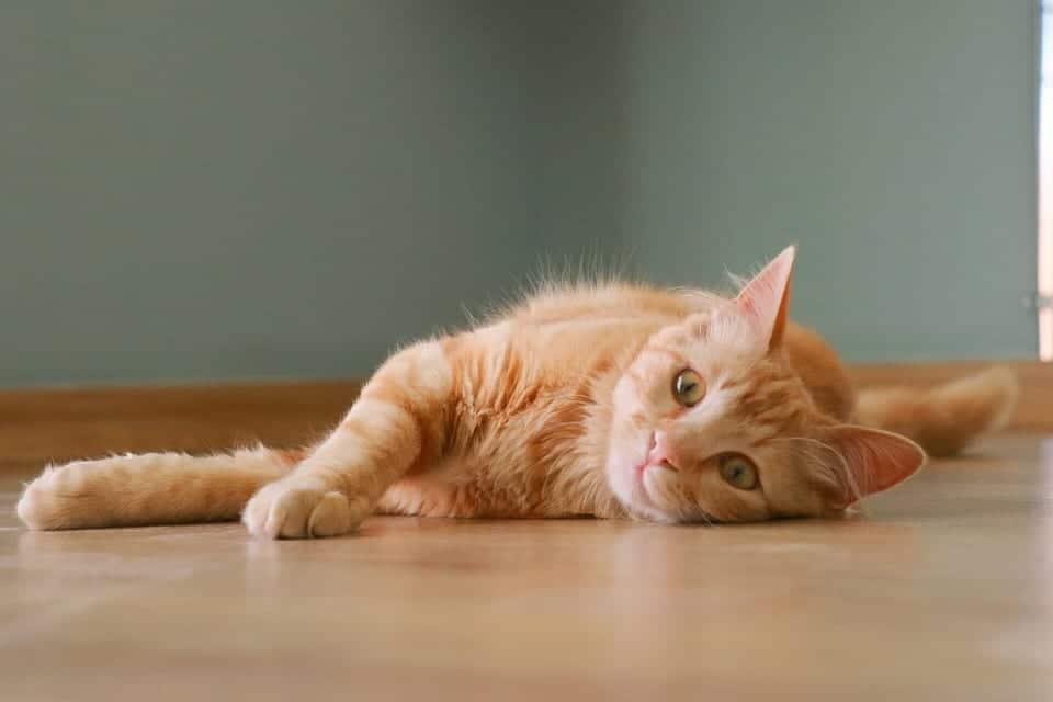 Gato naranja con calor