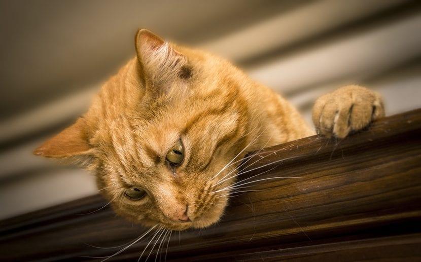 Gato joven de color naranja