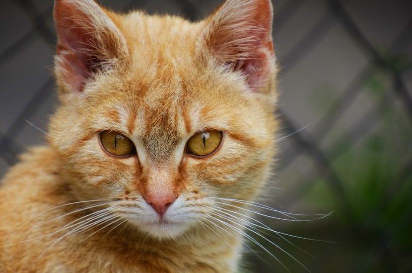 Vista de un gato naranja