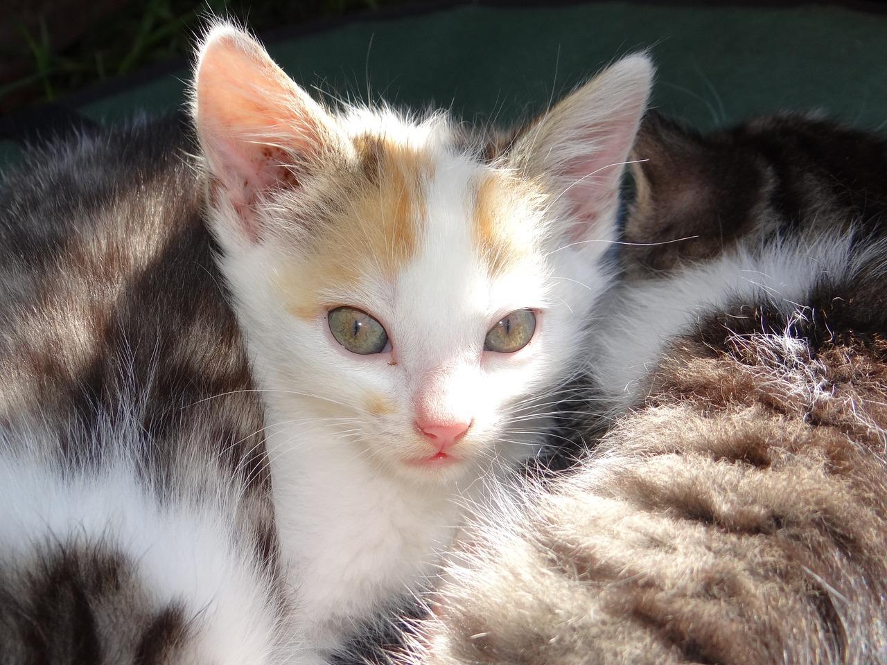 Alimenta a tu gato de un mes con comida para gatitos