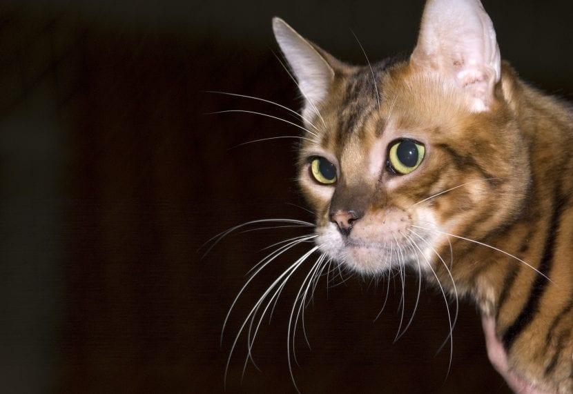 Gato Toyger joven