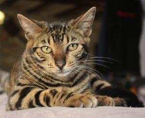 Gato Toyger tumbado