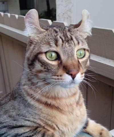 Precioso gato Highlander