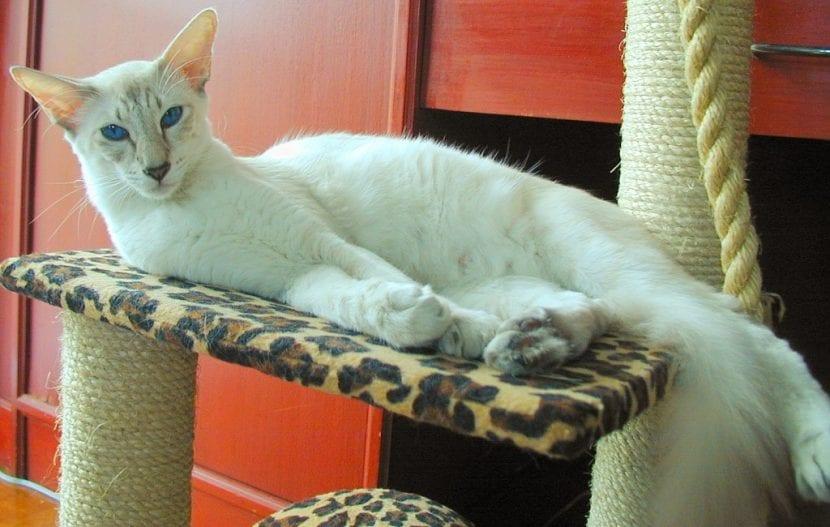 Gato javanés de color blanco