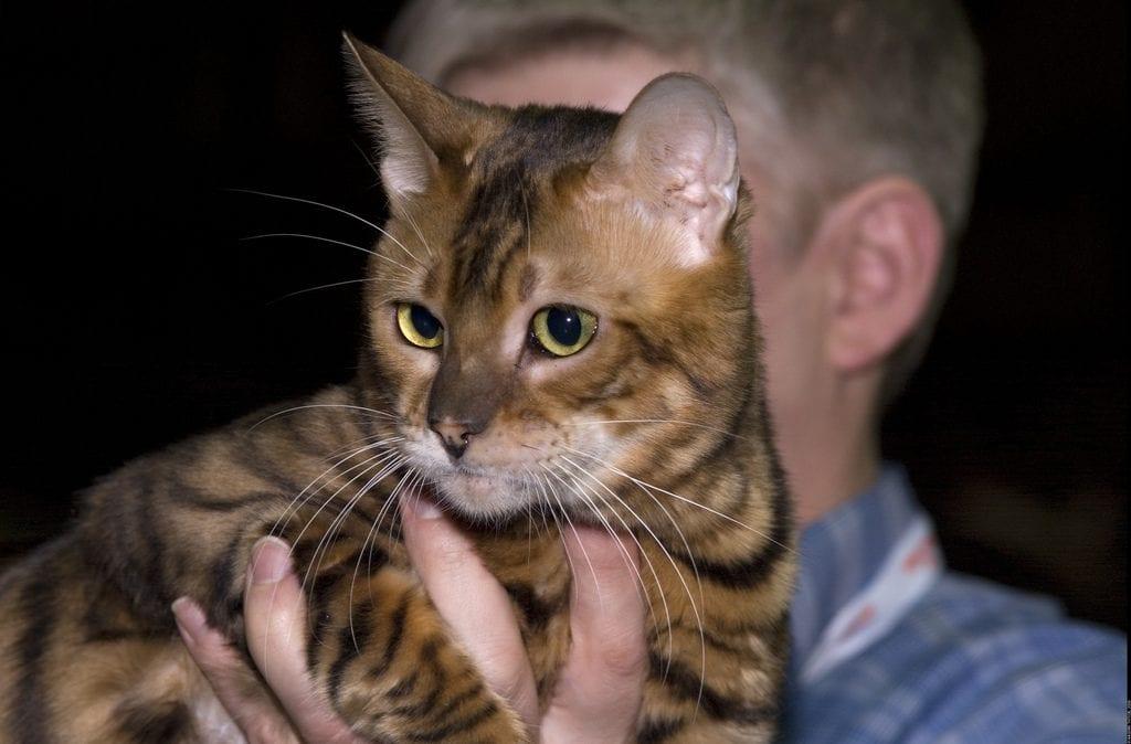 Precioso gato Toyger con un humano