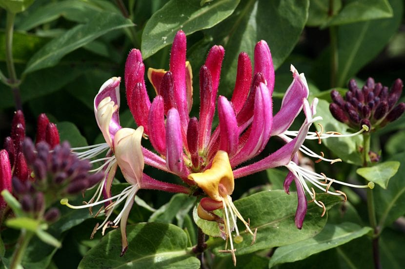 Lonicera caprifolium, nombre científico de la madreselva