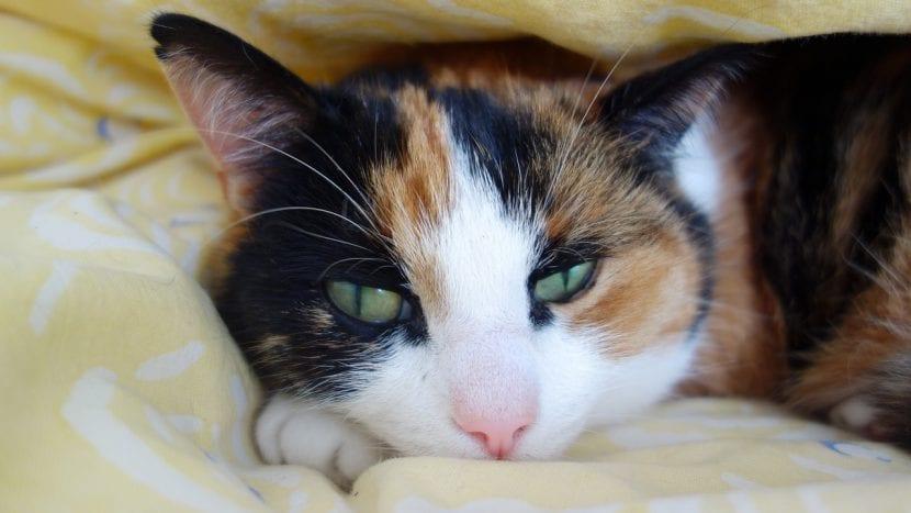 Gata tricolor en la cama