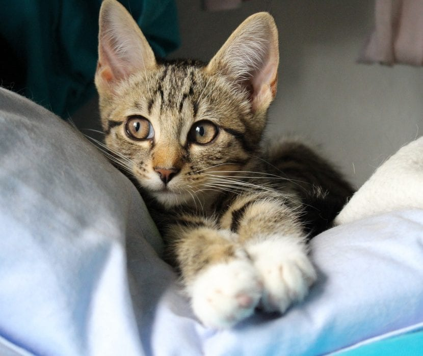 Gatito atigrado joven