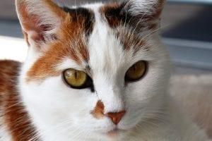 Gato adulto bicolor