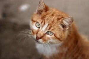 Gato adulto con el pelo naranja