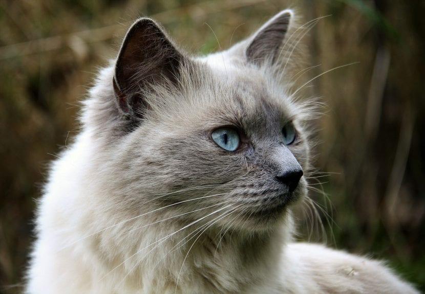 Gato adulto de pelo largo