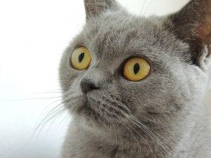 Gato azul adulto