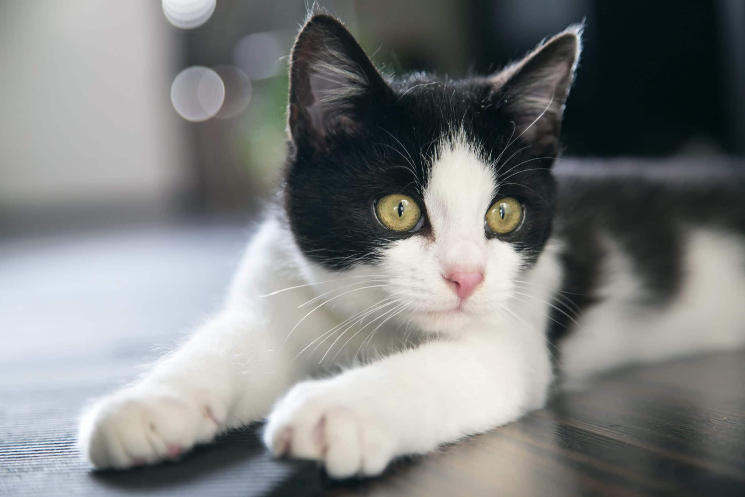 Gato bicolor joven