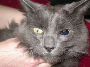Gato con glaucoma