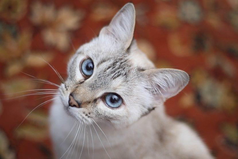 Gato gris adulto