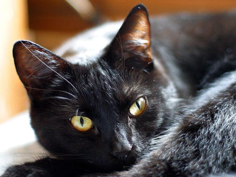 Los gatos pueden sufrir golpes de calor