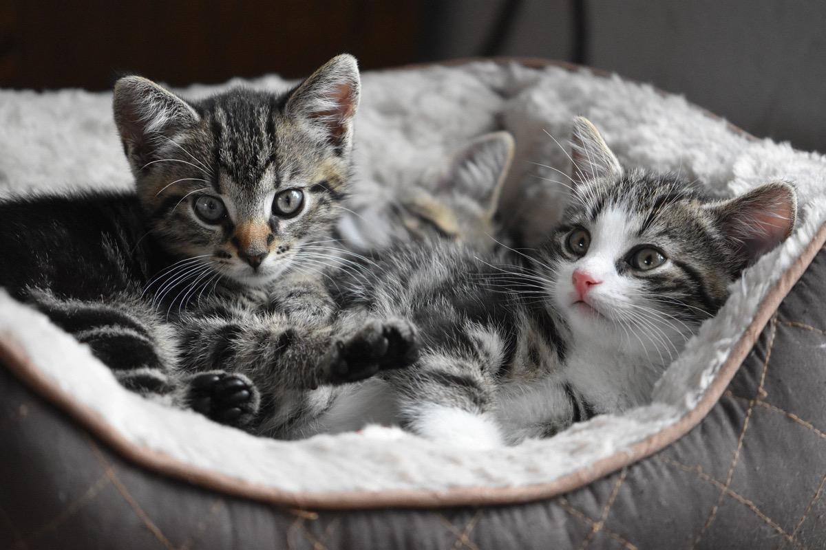 La gata puede aceptar al gatito sin problema