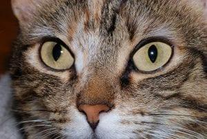 Los preciosos ojos de un gato atigrado