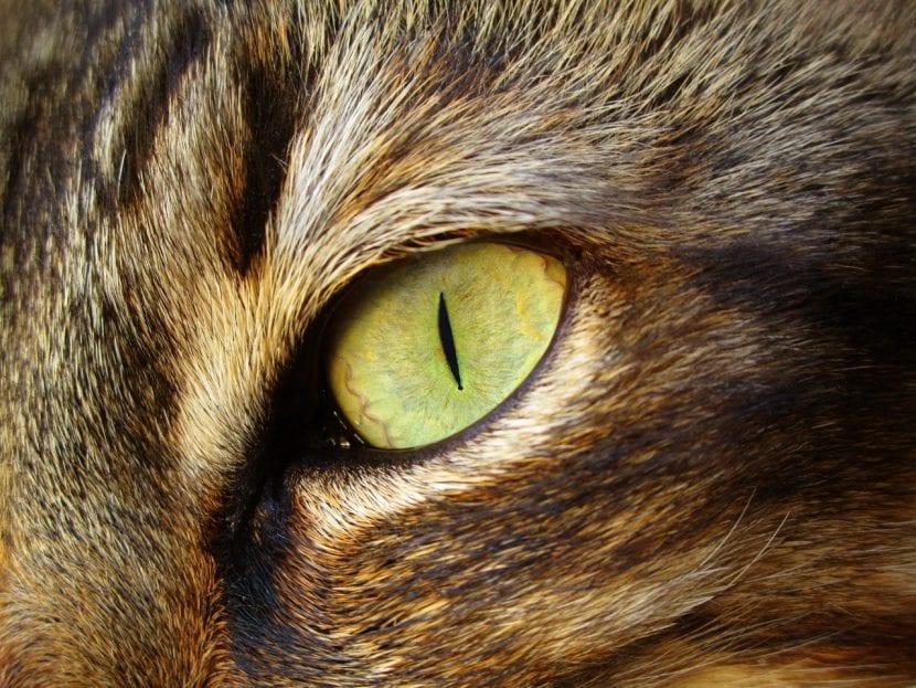 Mirada de gato adulto