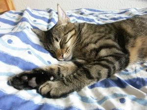 Gato atigrado durmiendo en la cama